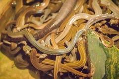 Группа в составе змейки воды (Homalopsidae) и их общее имя w Стоковые Изображения RF