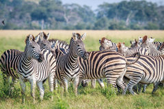 Группа в составе играя главные роли зебры в траве Стоковая Фотография RF