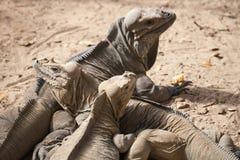 Группа в составе игуаны носорога, ящерицы, игуановые семьи Стоковая Фотография