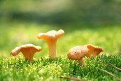 Группа в составе лисичка гриба в мхе Стоковая Фотография