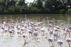 Группа в составе идя фламинго, зона Camargue, Франция Стоковая Фотография RF