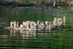 Группа в составе канадские гусята плавая совместно Стоковые Изображения