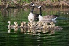 Группа в составе канадские гусята плавая совместно Стоковая Фотография