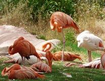 Группа в составе карибские и розовые фламинго Napping Стоковое фото RF