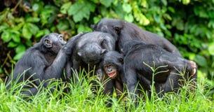 Группа в составе карликовые шимпанзе Стоковая Фотография