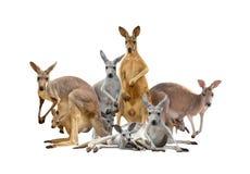 Группа в составе кенгуру Стоковые Изображения RF
