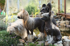 Группа в составе китайская Crested собака в саде Стоковые Фото