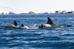 Группа в составе киты женских убийц ныряя в антартических водах на a Стоковое фото RF