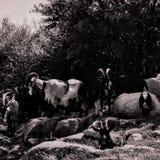 Группа в составе козы встретила камеру стоковое фото