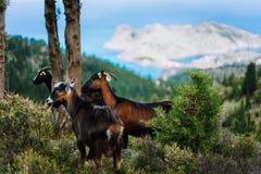 Группа в составе козы стоя в тени деревьев против изумительного гористого ландшафта в Греции Греческая сельская местность обычная стоковые изображения