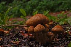 Группа в составе коричневые грибы на расчистке в лесе в осени стоковое фото