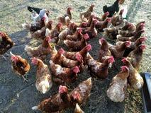 Группа в составе коричневые цыплята ждать воду стоковые фотографии rf