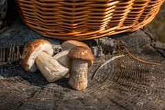Группа в составе коричневые badius и porcini подосиновика гриба подосиновика крышки Стоковое фото RF