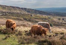 Группа в составе корова гористой местности в пиковом районе в Шеффилде Стоковые Изображения