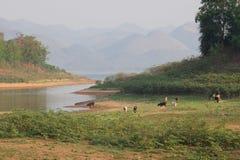 Группа в составе коровы в запрудах запаса засухи Стоковые Изображения