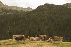Группа в составе коровы в горах Стоковая Фотография RF