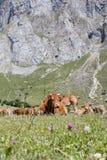 Группа в составе коровы над травой в горах Стоковое Фото