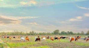 Группа в составе коровы пася на ландшафте зеленого луга лета естественном Стоковое Фото
