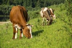 Группа в составе коровы пася на поле травы Стоковые Изображения RF