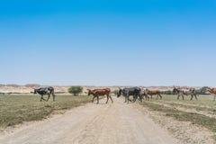 Группа в составе коровы пася в оазисе пустыни Namib anisette Стоковые Изображения