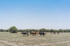 Группа в составе коровы пася в оазисе пустыни Namib anisette Стоковое Изображение RF