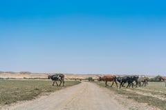 Группа в составе коровы пася в оазисе пустыни Namib anisette Стоковая Фотография