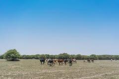 Группа в составе коровы пася в оазисе пустыни Namib anisette Стоковые Фото