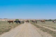 Группа в составе коровы пася в оазисе пустыни Namib anisette Стоковые Изображения RF