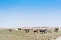 Группа в составе коровы пася в оазисе пустыни Namib anisette Стоковое фото RF