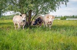 Группа в составе коровы совместно в тени дерева вербы Стоковые Фото