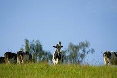 Группа в составе коровы стоит на зеленом луге Стоковая Фотография RF