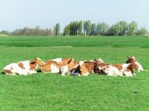 Группа в составе коровы Стоковые Изображения RF