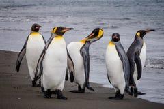 Группа в составе король пингвины на крае ` s воды в заливе Сент-Эндрюса, Южной Георгие Стоковое фото RF