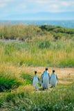 Группа в составе король пингвины Стоковые Изображения