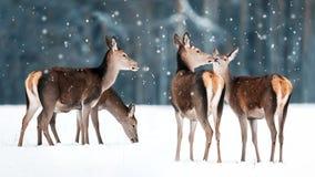 Группа в составе красивые женские грациозные олени в elaphus Cervus оленей снежного леса зимы благородном Страна чудес зимы стоковое фото rf