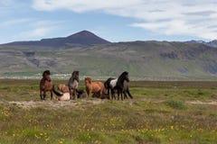 Группа в составе красивые исландские лошади белизны Стоковая Фотография