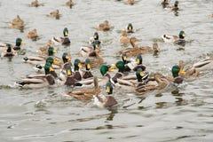 Группа в составе красивые коричневые утки и селезни плавают в реке Стоковое Изображение