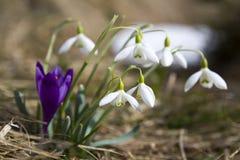 Группа в составе красивые нежные snowdrops и один яркий фиолетовый крокус Стоковое фото RF
