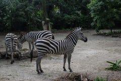 Группа в составе красивые striped зебры ослабляя в Сингапуре Стоковая Фотография RF
