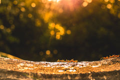Группа в составе красные муравьи работая под заходом солнца Стоковое Изображение RF