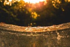 Группа в составе красные муравьи работая под заходом солнца Стоковое Фото