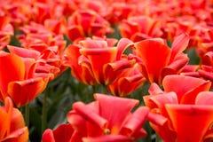 Группа в составе красные тюльпаны в парке ландшафта фокуса поля дня облаков сини небо выставки заводов движения должного польност Стоковая Фотография RF