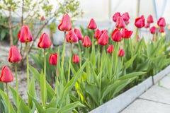 Группа в составе красные тюльпаны в парке Стоковое Изображение RF
