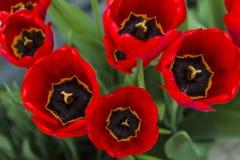 Группа в составе красные тюльпаны в парке Стоковое фото RF