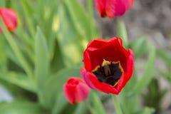 Группа в составе красные тюльпаны в парке Стоковые Фотографии RF