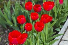 Группа в составе красные тюльпаны в парке Стоковое Изображение