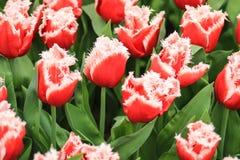 Группа в составе красные тюльпаны при crenated белизна выходит стоковые фото