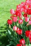 Группа в составе красные тюльпаны с зеленой травой Стоковое Изображение