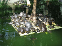 Группа в составе красные ушастые черепахи слайдера Стоковая Фотография RF