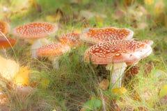 Группа в составе красные musrooms пластинчатого гриба мухы Стоковая Фотография RF